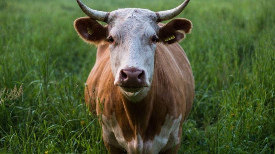 Корова. Животное