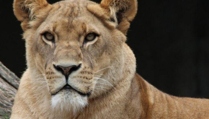 Краснодарские следователи возбудили дело по факту нападения львицы на ребенка