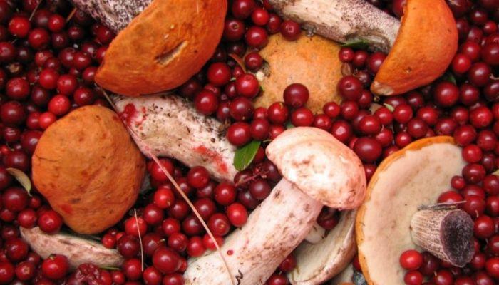Сбор ягод и грибов начнет приносить россиянам доход
