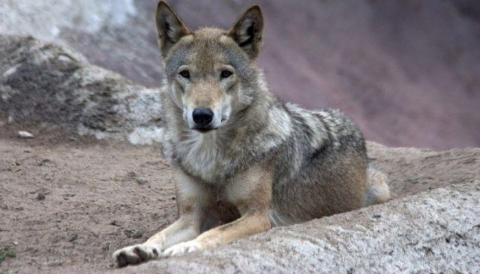 Барнаульская семья отсудила 150 тысяч рублей у зоопарка за нападение волка