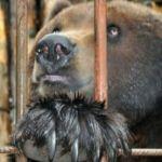 Девушка госпитализирована в Приамурье после попытки покормить медведя с рук