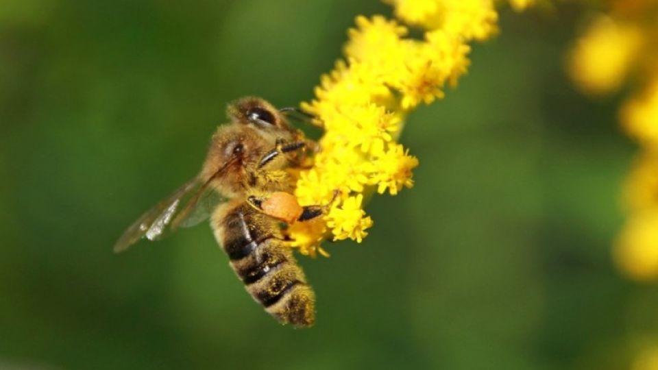 Пчела. Насекомое. Природа