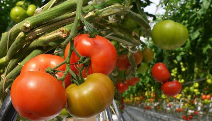 Рекордный урожай овощей прогнозируют в России