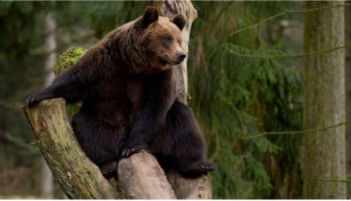 Жители Алтая напуганы выходом медведей к людям