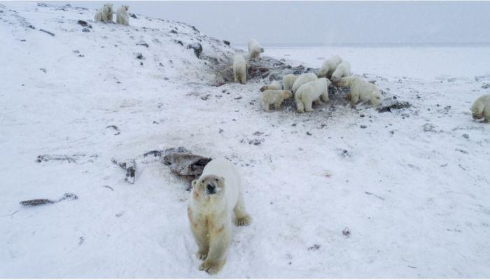 50 истощенных белых медведей оказались в ловушке у села на Чукотке