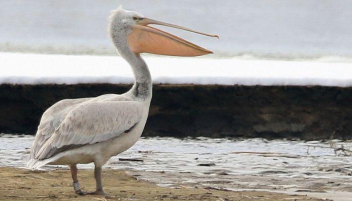 Спасенного на Алтае пеликана заметили в Казахстане