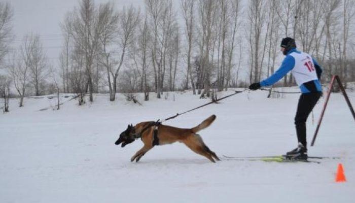 Чемпионат СФО по буксировке лыжника собакой стартует в Барнауле