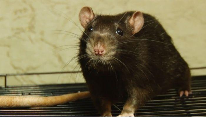 Ко мне!: стоит ли держать дома крыс и как правильно за ними ухаживать