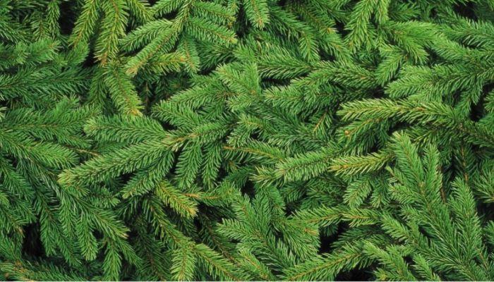 Как в холдинге Алтайлес дают вторую жизнь новогодним деревьям. Инфографика