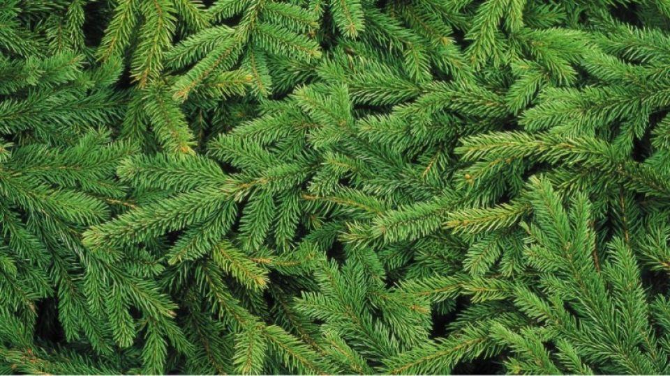 """Как в холдинге """"Алтайлес"""" дают вторую жизнь новогодним деревьям. Инфографика"""