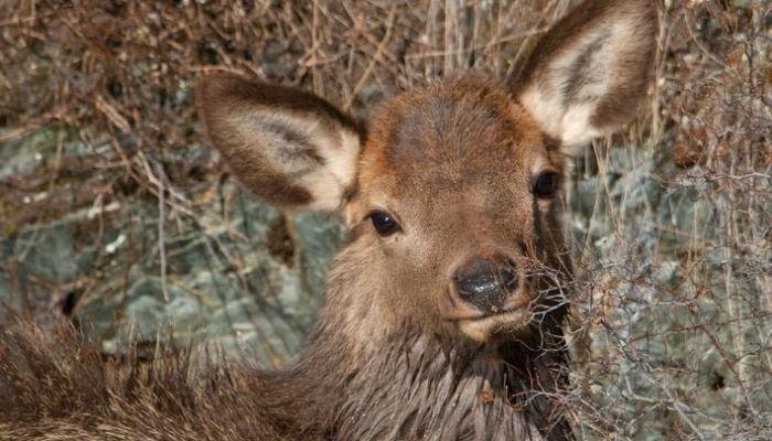 Возможно, загнали волки: маралёнка спасли из Телецкого озера на Алтае
