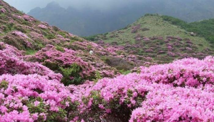 Розовый рай: фото цветущего в Горном Алтае маральника заполонили соцсети