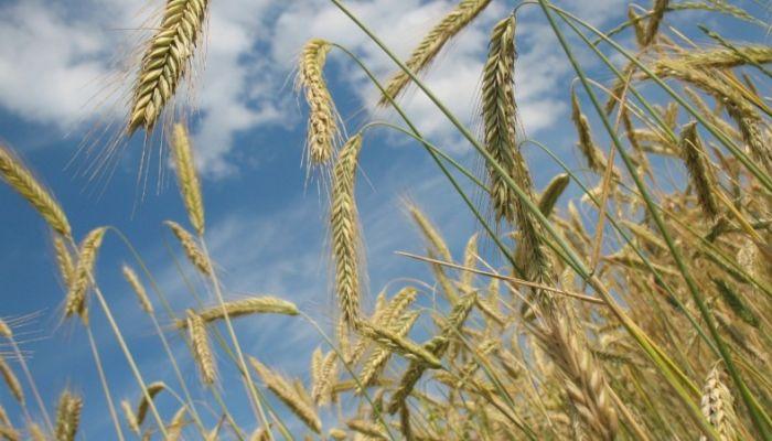 Алтайский переработчик Гачман рассказал о последствиях запрета на экспорт зерна