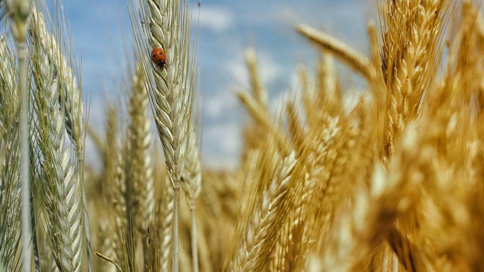 Пшеница. Поле