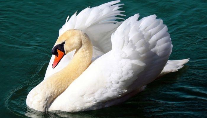Запутался в сети: на алтайском водоеме спасли краснокнижного лебедя