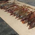 На Алтае у браконьеров изъяли партию стерляди почти на 2 млн рублей