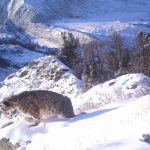 В горах Алтая подсчитали снежного барса - краснокнижного ирбиса