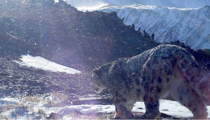 Мурлыкают и катаются с горок: фотоподборка ко Дню снежного барса на Алтае 2020
