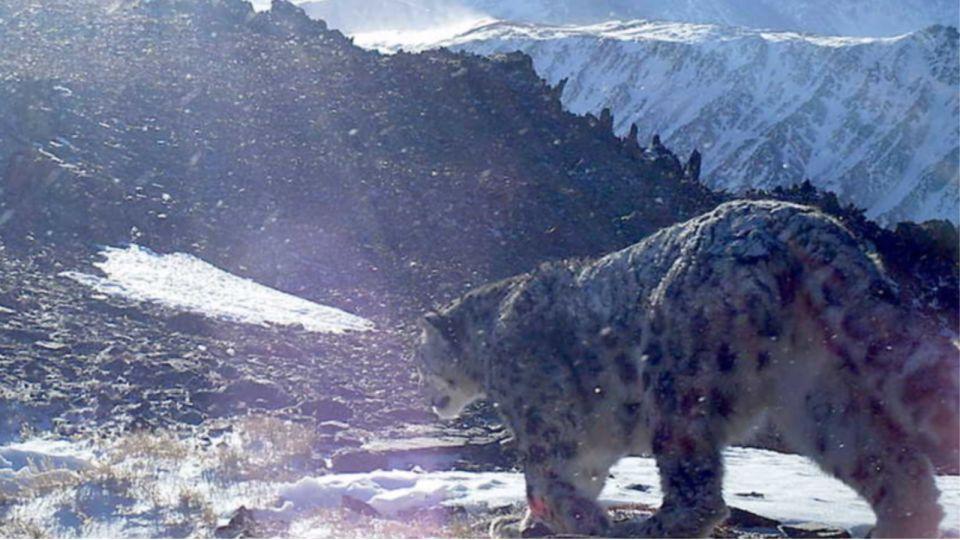 Снежный барс на Алтае