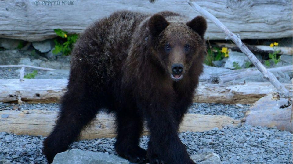 Молодые медведи начали выходить на берег Телецкого озера
