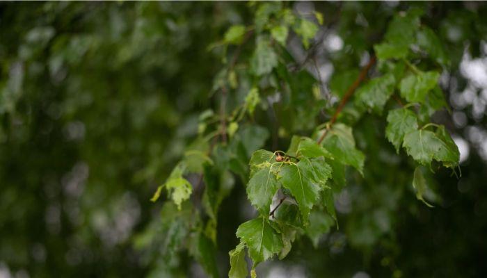 Дождливо и тепло: о погоде 2 июня в Алтайском крае
