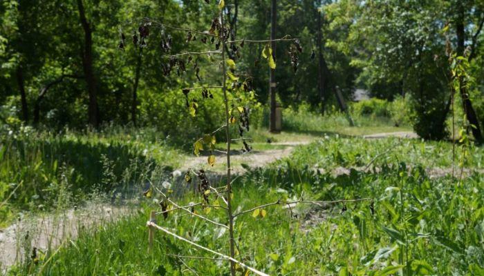 Барнаульцев возмутили пожухшие деревья в парке Изумрудный