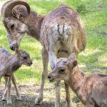 В Новосибирском зоопарке на свет появились два детеныша аргали