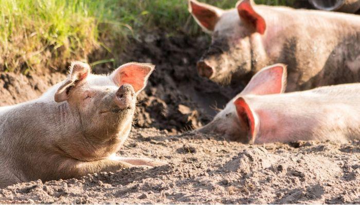 Крупнейшую обанкротившуюся свиноферму продают на Алтае