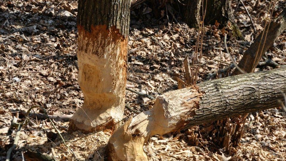 Жителя Алтайского края насмерть придавило упавшее дерево