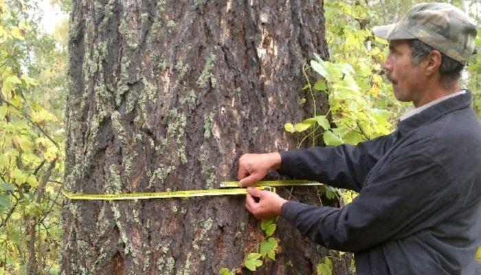 Алтайские деревья могут признать самыми удивительными в России