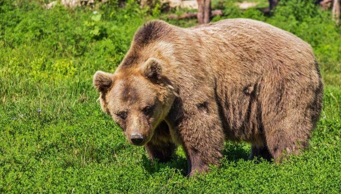 С трудом отбили: медведь истерзал рыбака на Камчатке