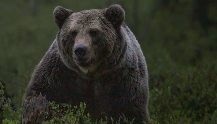 Тело растерзанного медведем пенсионера нашли на окраине села на Камчатке