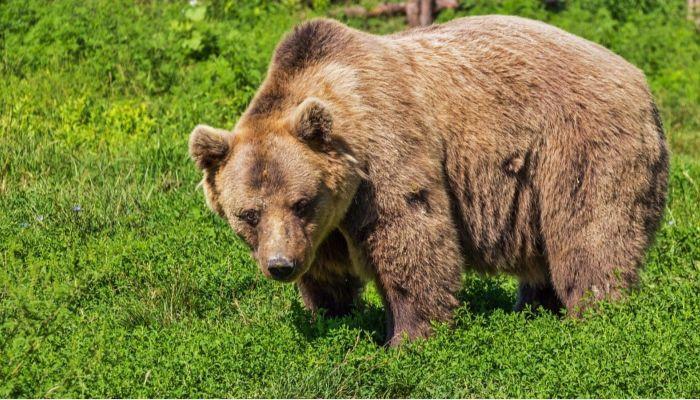 В алтайском селе Тогул мужчина заснял перебегавшего трассу медведя