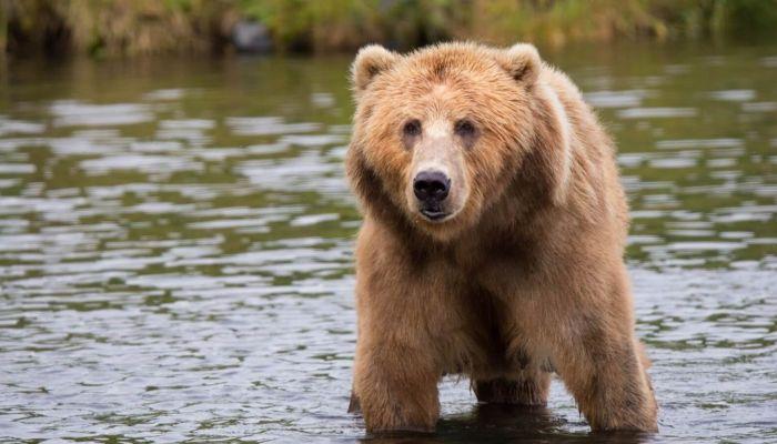 Хватит с него: в Сибири туристы из лодки расстреляли медведя