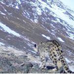Снежный барс попал в фотоловушку в Алтайских горах