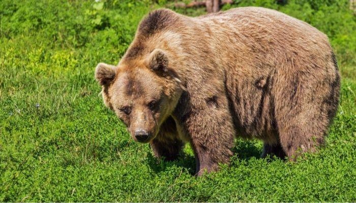 Бурый медведь напал на пасеку в Заринском районе