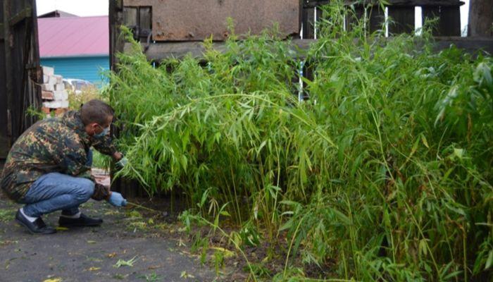 Бережно выращивал: полицейские нашли 1650 кустов конопли у барнаульца