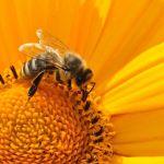 В Алтайском крае снова массово умирают пчелы после химобработки