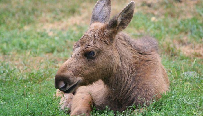 Мать убили браконьеры: новорожденного лосенка спасли в алтайском лесу