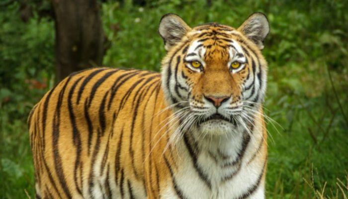 Кисуня, иди гуляй!: тигр украл ведро с уловом у рыбаков в Приморье