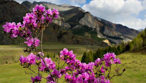 Чудо природы: на Алтае в сентябре зацвел маральник