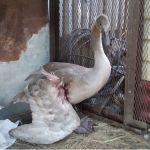 Подстреленный на Алтае лебедь лишился крыла и отправлен на реабилитацию