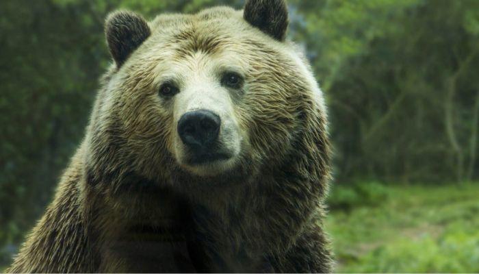 Опасного медведя, пугавшего сельчан, застрелили на Алтае