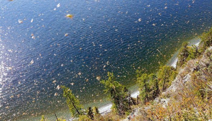 Клопы-щитники заполонили прибрежную зону Телецкого озера