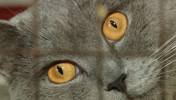 В приюте Ласка ввели жесткий карантин из-за вспышки опасного кошачьего вируса