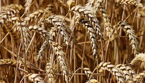 3,5 млн тонн зерна собрали аграрии в Алтайском крае