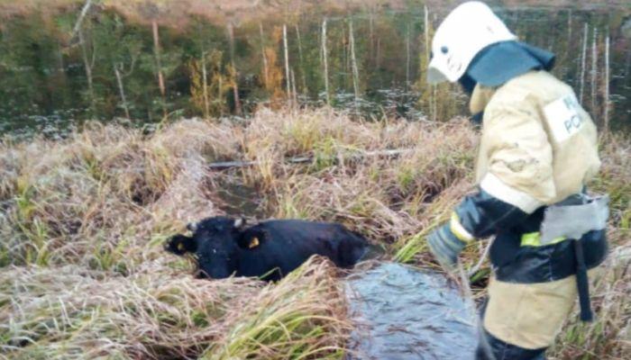 Сотрудники МЧС спасли тонущую корову и лошадь в Республике Алтай
