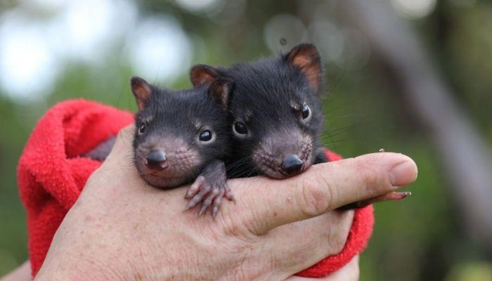 Тасманского дьявола вернули на материковую часть Австралии
