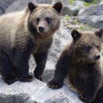 В алтайской тайге организовали пункт реабилитации медвежат-сирот