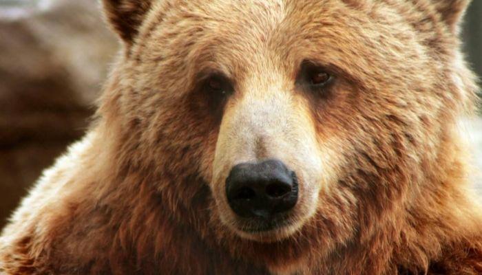 В Нижневартовске медведь вышел на городские улицы и гонялся за прохожими